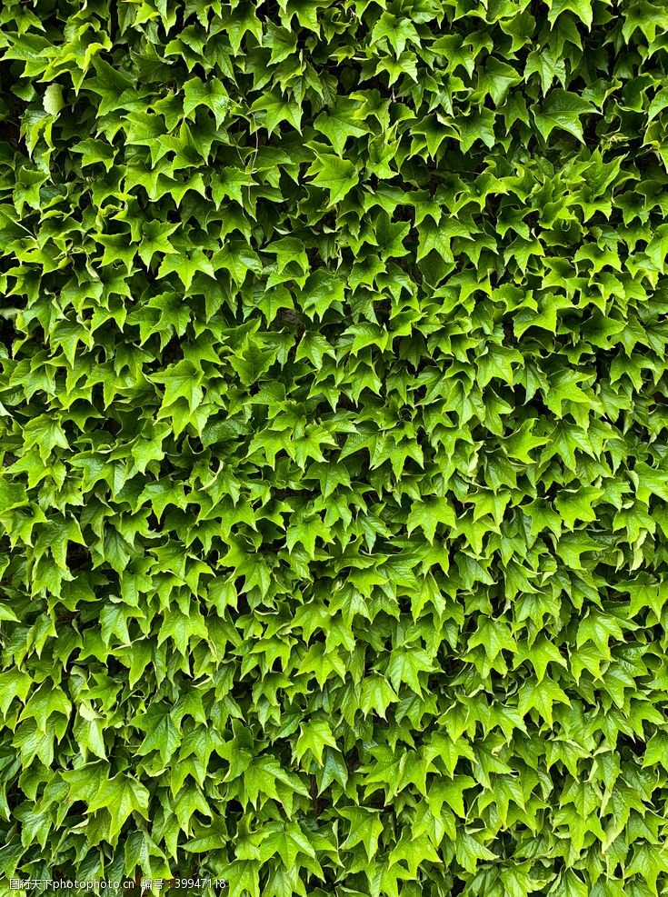 绿植爬山虎图片