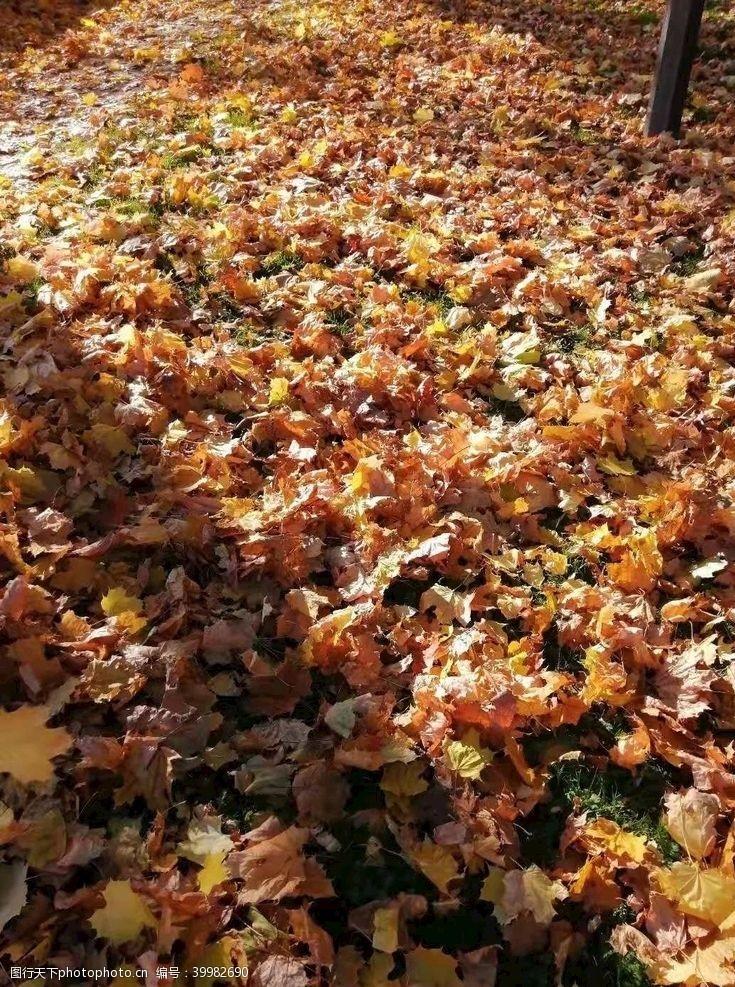 树风景秋天落叶黄斜阳图片