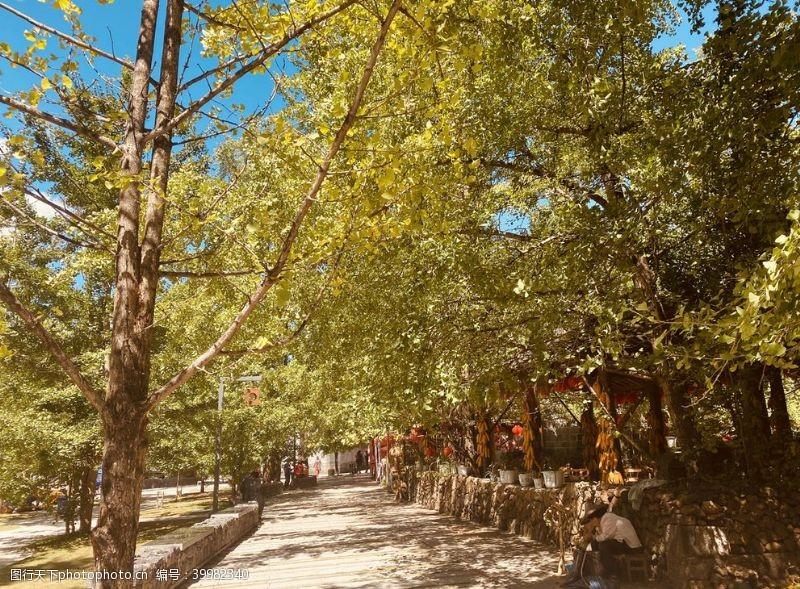树银杏村图片