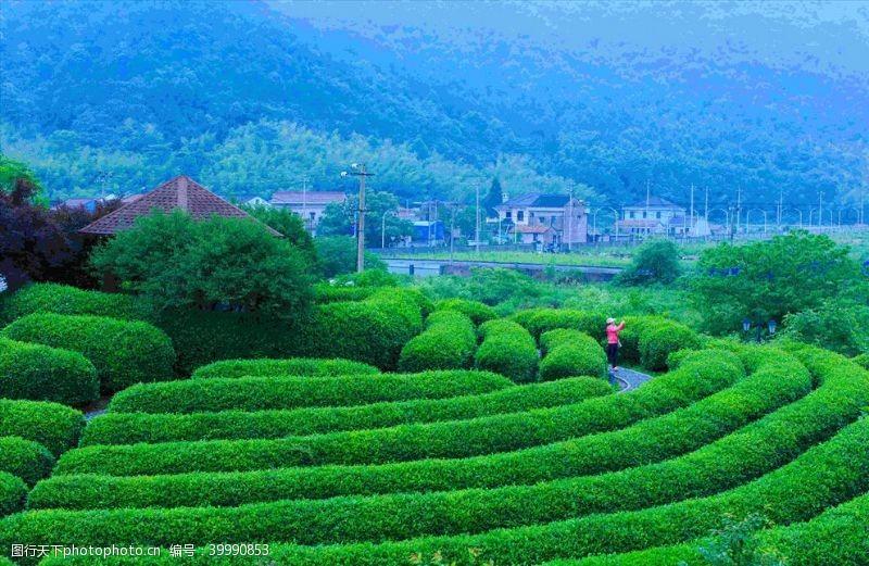 明前茶茶园图片