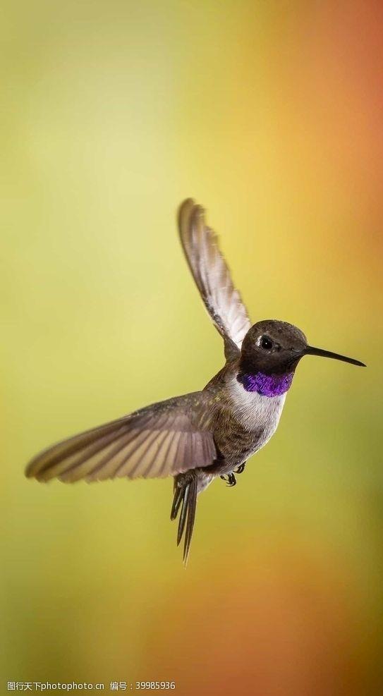 展翅蜂鸟图片