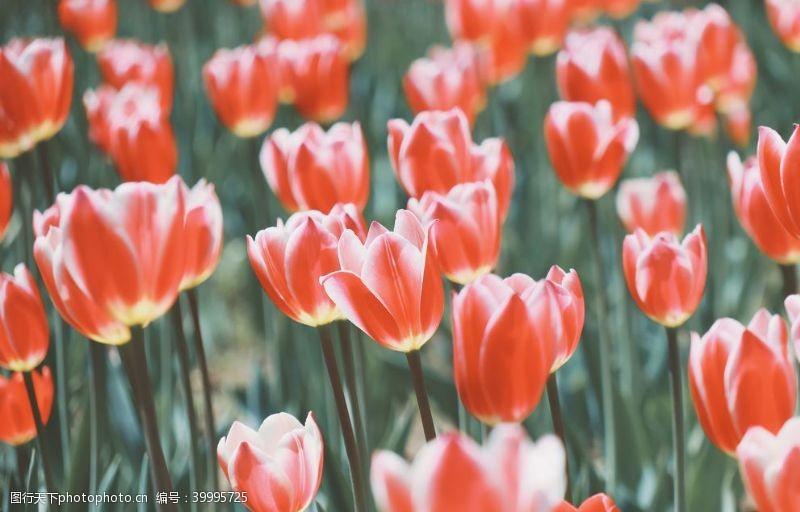 浪漫绽放红色郁金香特写图片