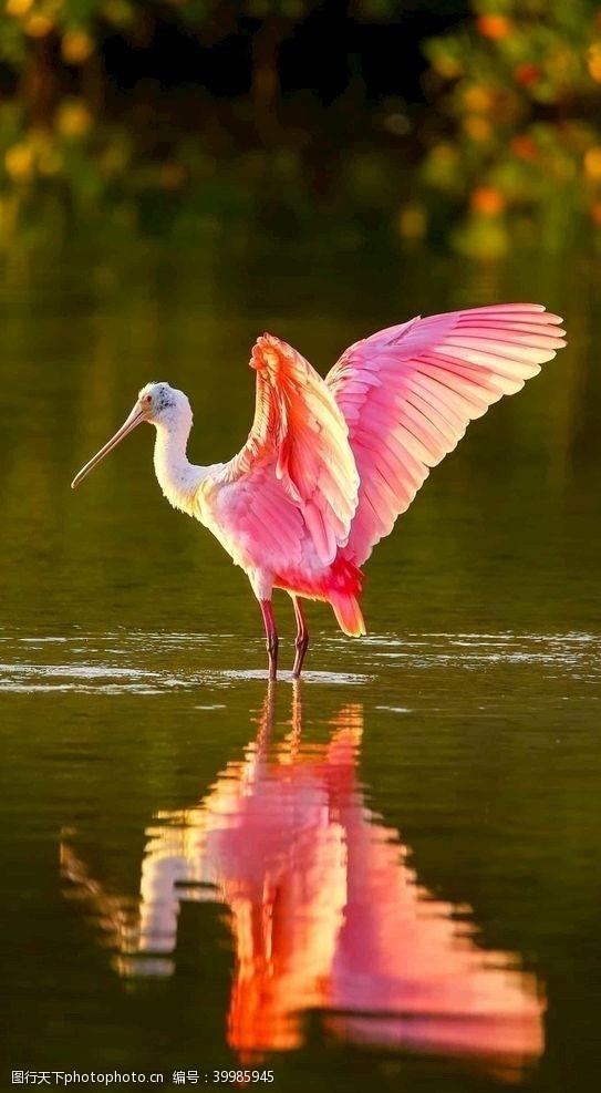 展翅火烈鸟图片