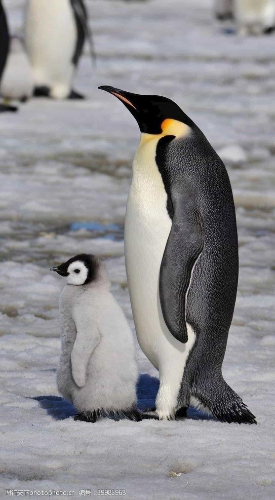 展翅企鹅图片