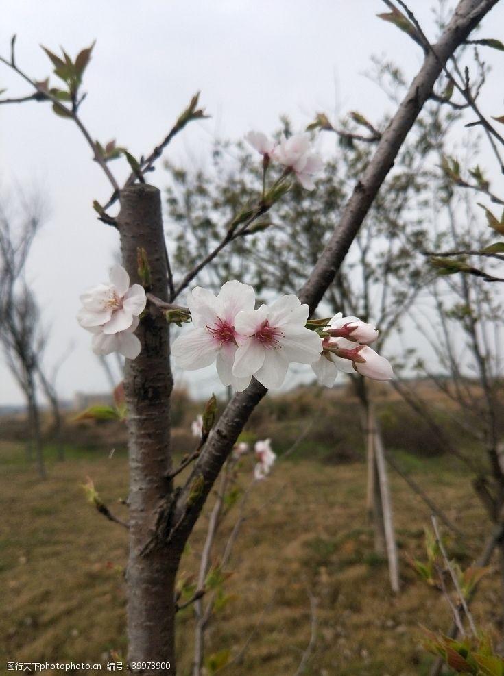 春天的背景樱花图片