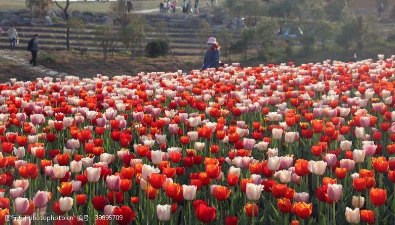 浪漫绽放郁金香花圃拍摄素材图片