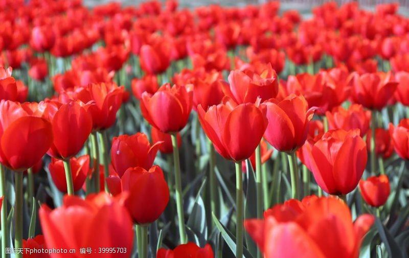浪漫绽放大片红色郁金香拍摄图片