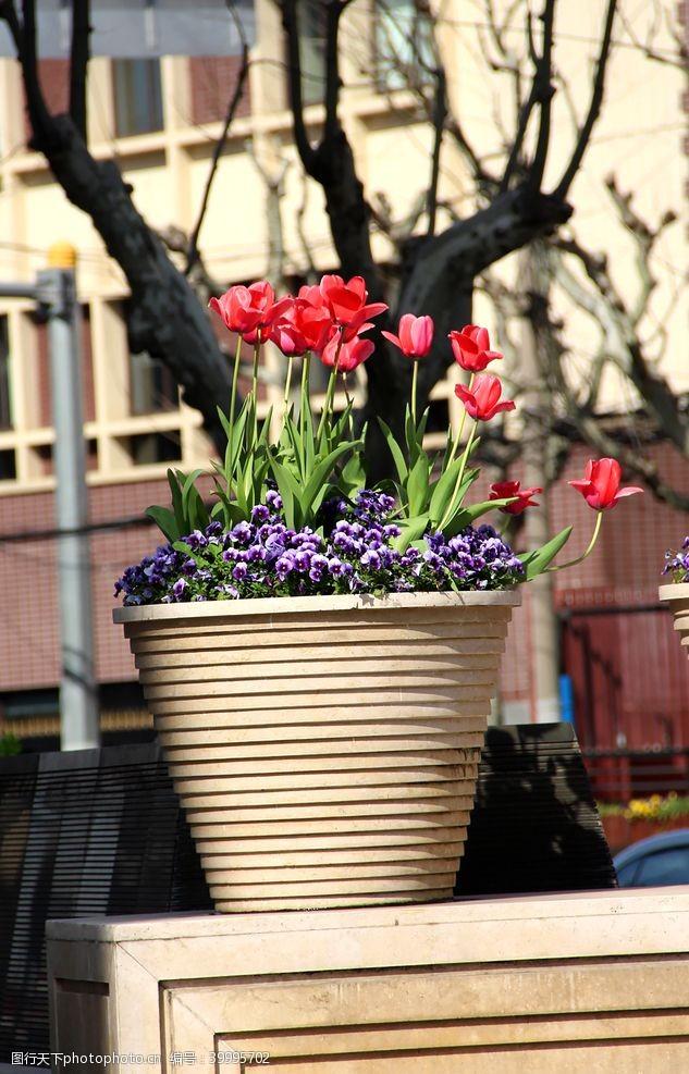 浪漫绽放花盆里盛开的郁金香图片