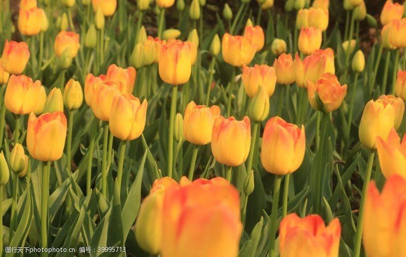 浪漫绽放橘黄色大片郁金香拍摄素材图片