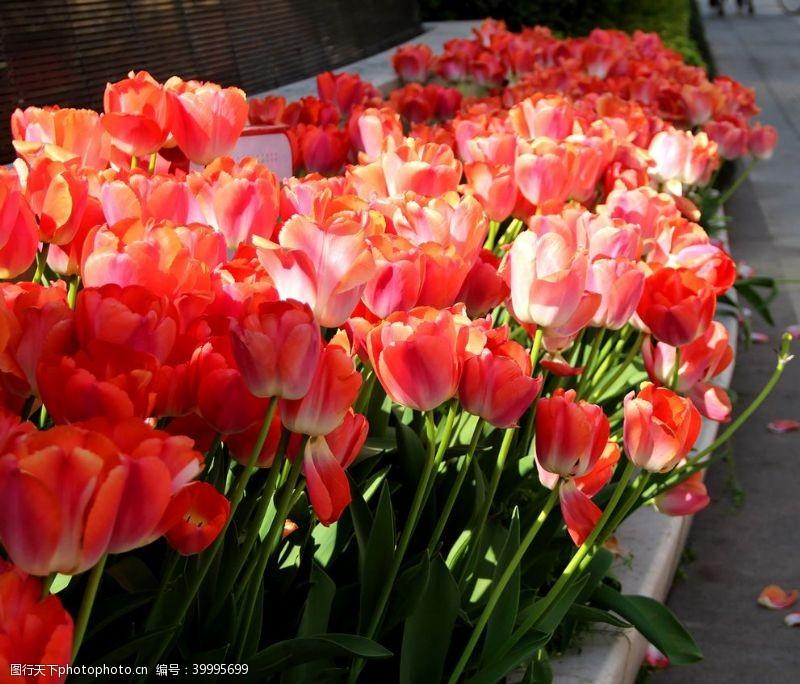 浪漫绽放路旁花坛里的郁金香图片