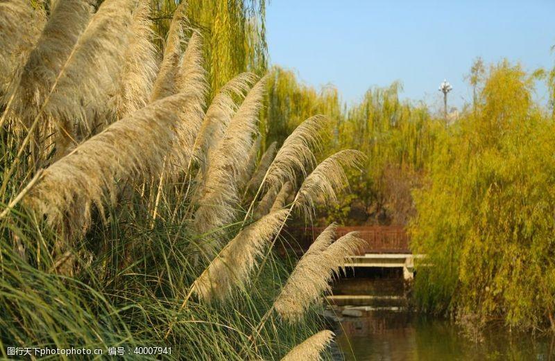 摄影图库芦苇河水图片
