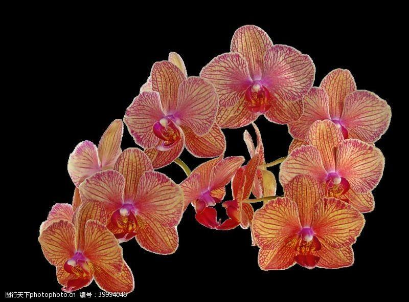 植物美丽的蝴蝶兰鲜花图片