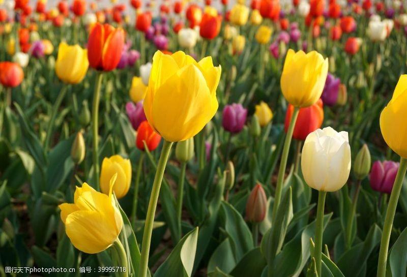 浪漫绽放郁金香花圃图片