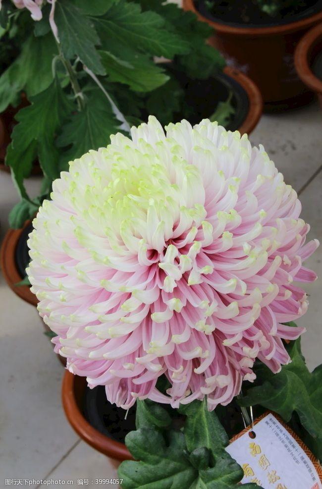 植物菊花图片