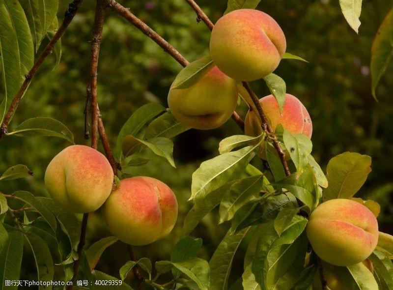 仙桃蜜桃图片