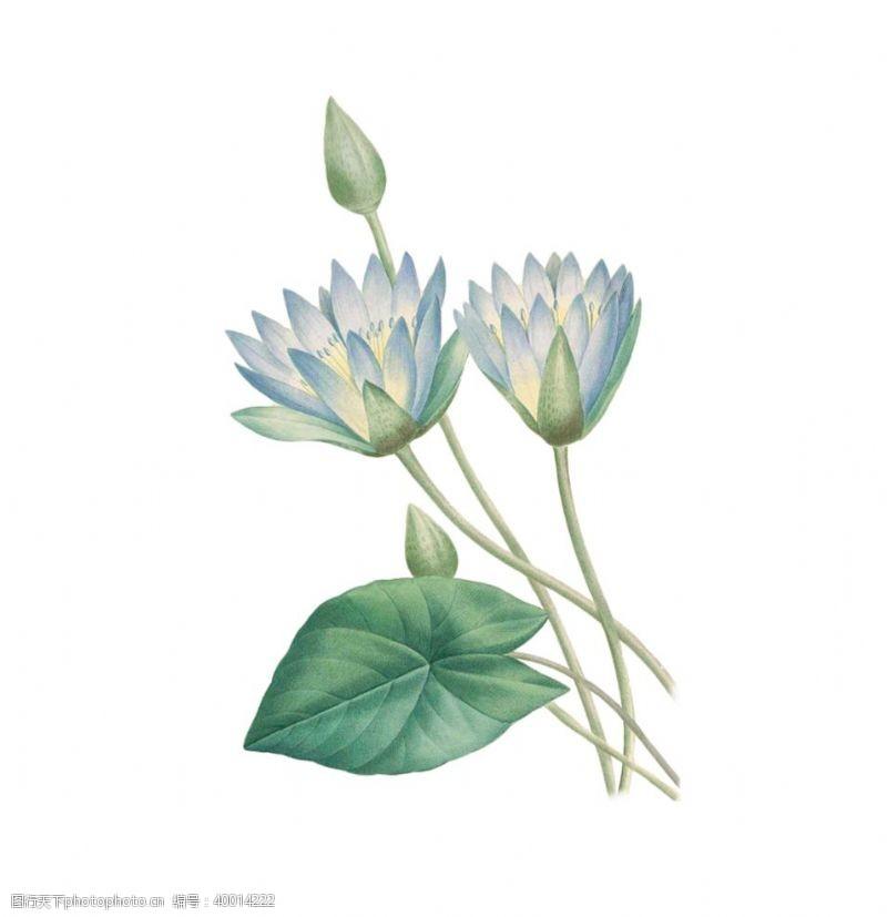 手绘画莲花插画图片