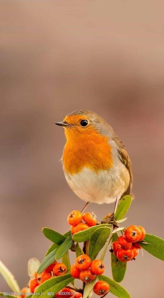 蜂鸟鸟图片