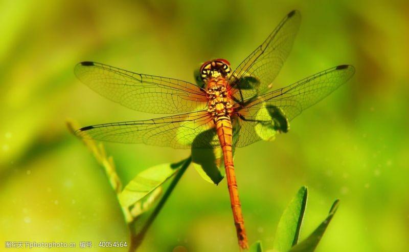轻盈蜻蜓图片