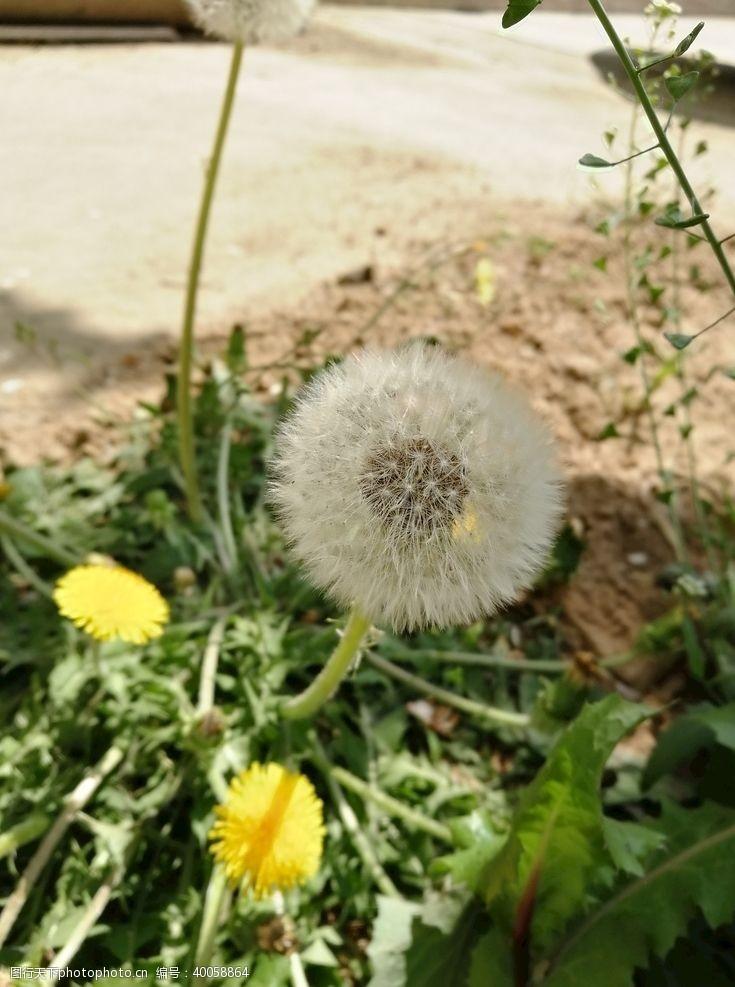降落伞蒲公菊图片