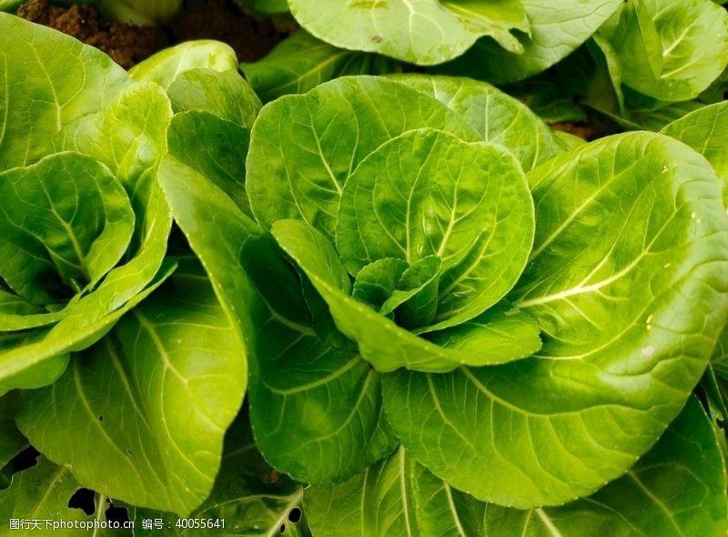 菜叶青菜图片