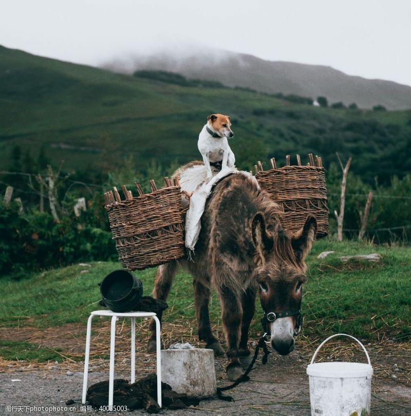 阿胶毛驴图片