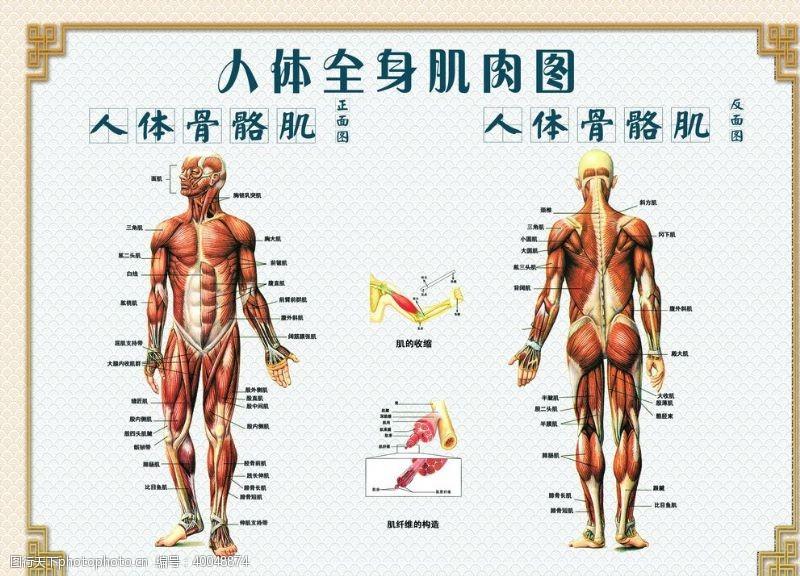 正反人体骨骼肌图片
