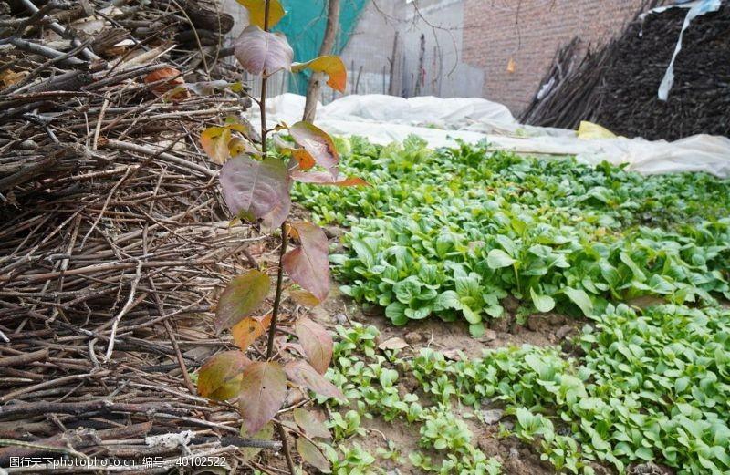 包菜菜园图片