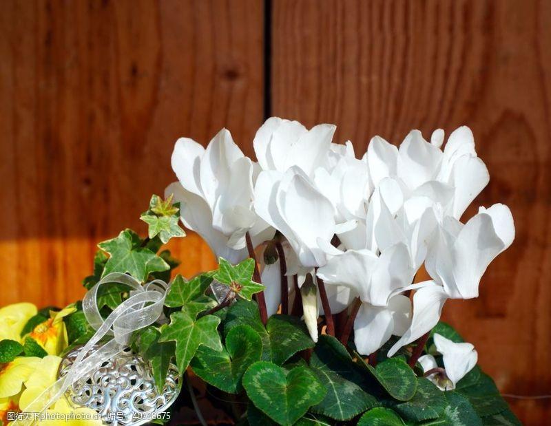 淡色花朵仙客来图片