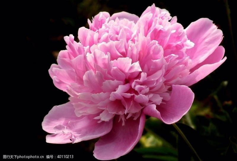 洛阳花开富贵的牡丹花图片