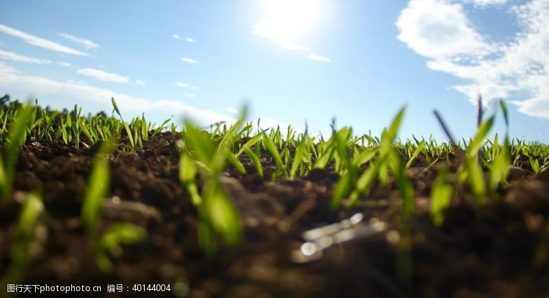土地麦苗发芽图片
