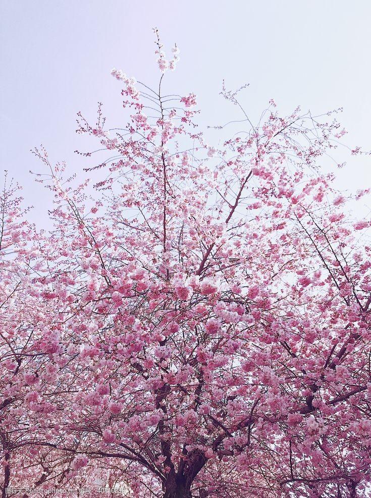 樱花节樱花图片