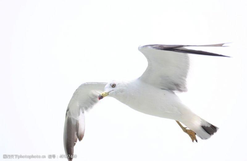 山东长岛海鸥图片