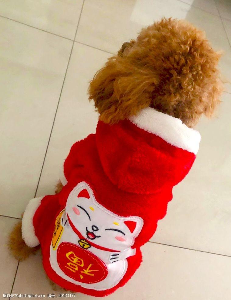 宠物狗招财泰迪图片