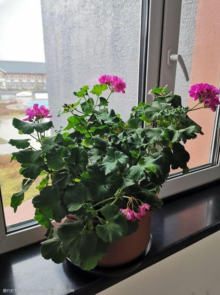 花盆天竺葵图片
