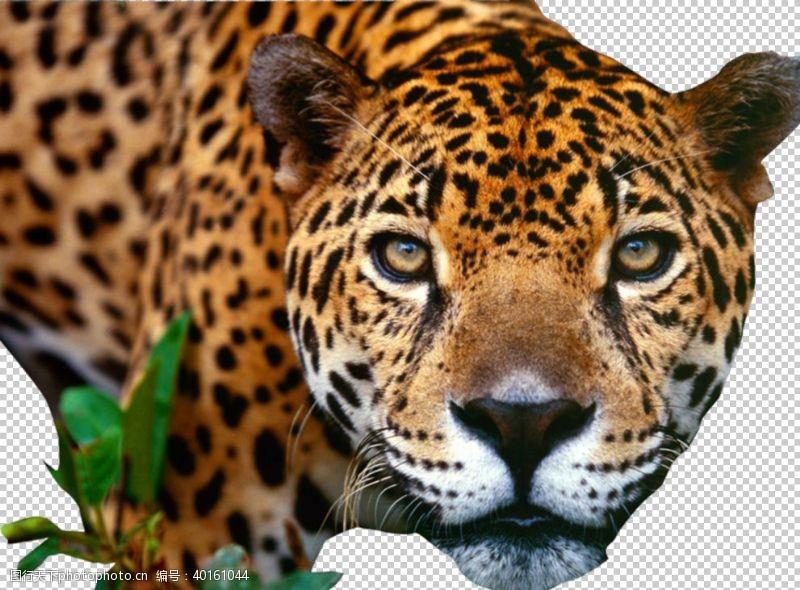 虎豹豹子图片
