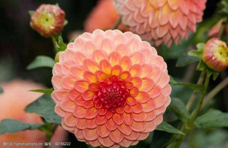 红色花朵大丽花图片