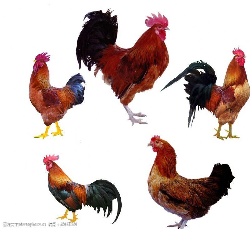 其他生物公鸡图片
