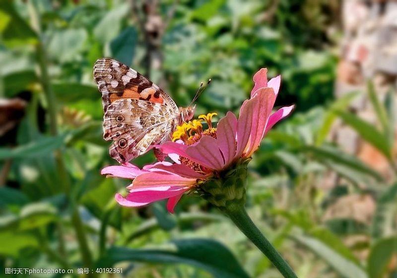 花蝶蝴蝶图片