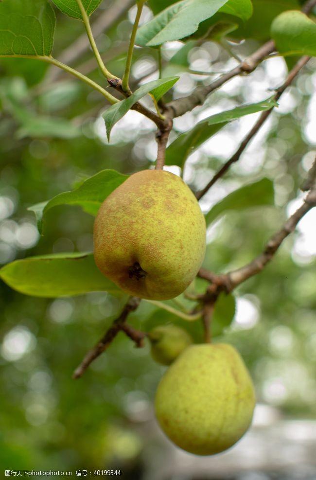 健康食品梨子图片