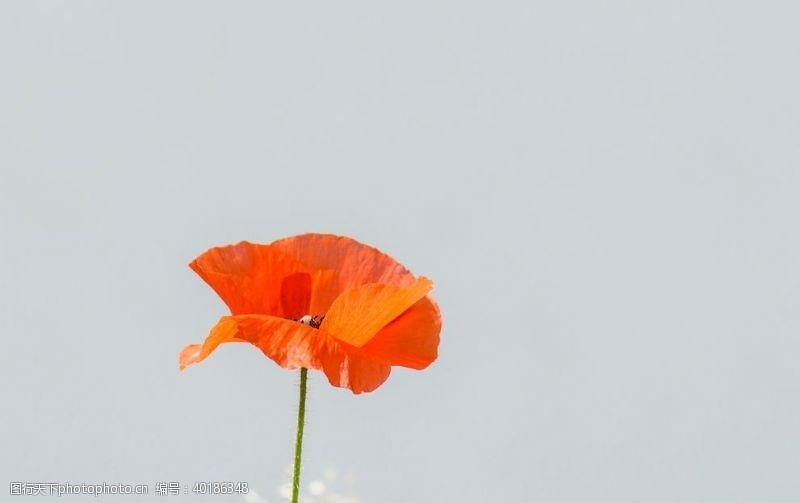 花瓣罂粟花图片