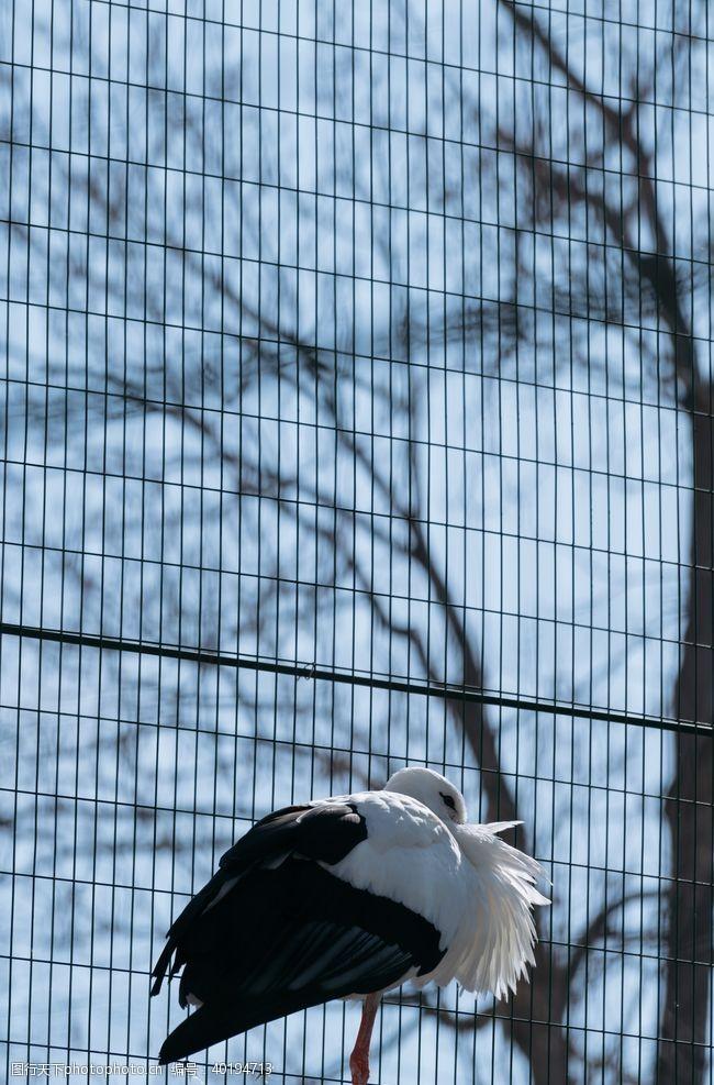 白鹤丹顶鹤图片