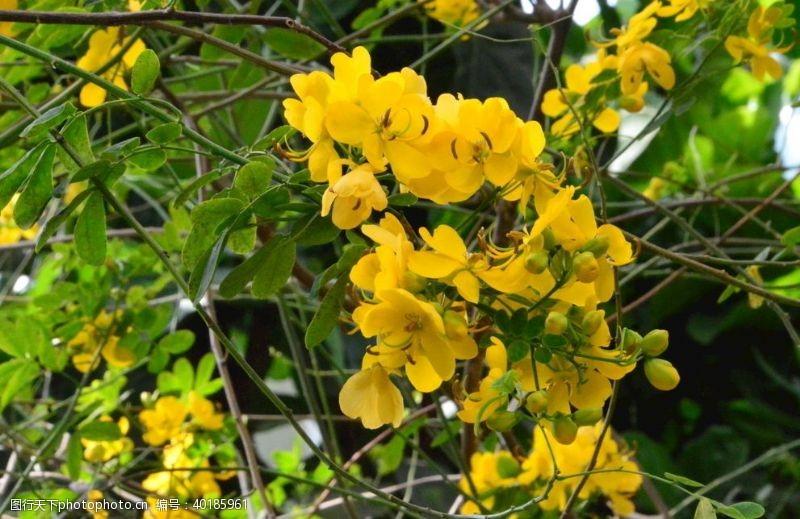 花瓣黄槐决明图片