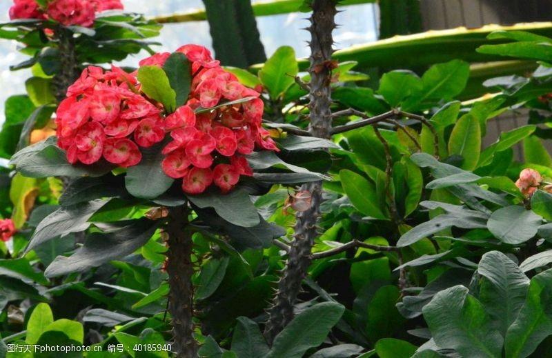 花瓣虎刺梅图片
