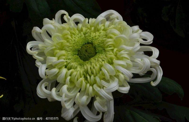 花瓣菊花图片