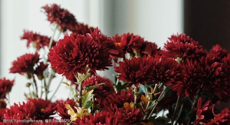 秋菊菊花图片