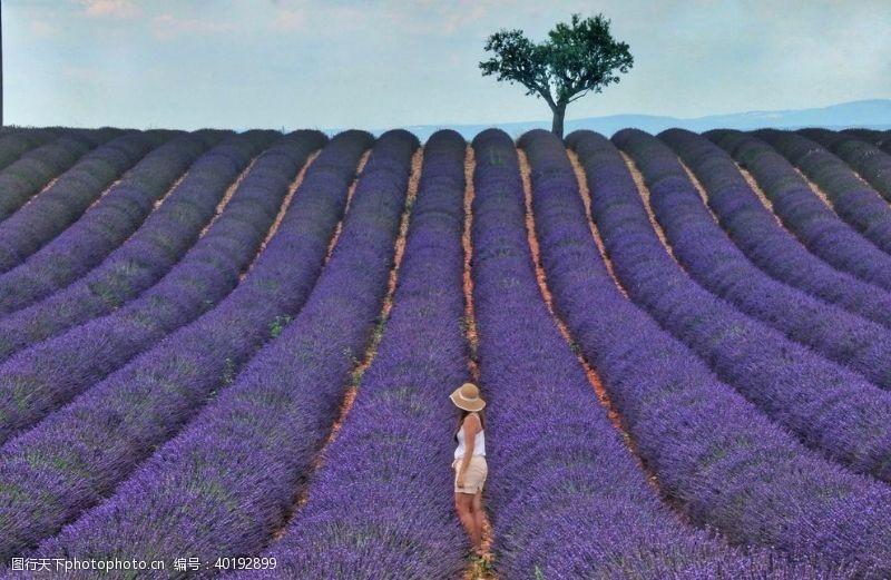 紫色花朵薰衣草花田图片