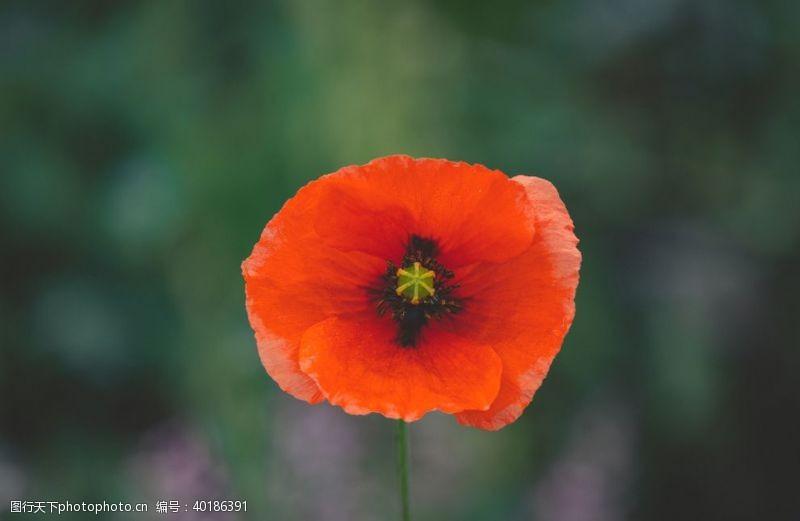 花瓣罂粟图片