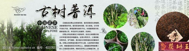 古树普洱中国茗茶茶树王图片