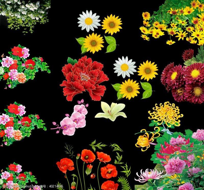 菊花茶牡丹菊花系列图片