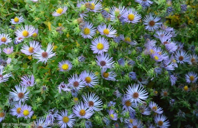 花瓣紫菀图片